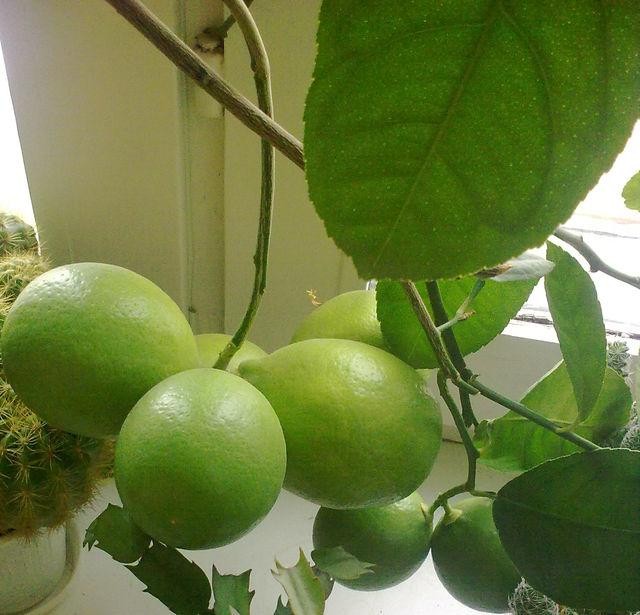 Мои плодоносящие растения на подоконнике