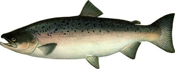лососевых рыбы фото семейства их